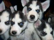 Сибирский хаски щенки для свободного принятия